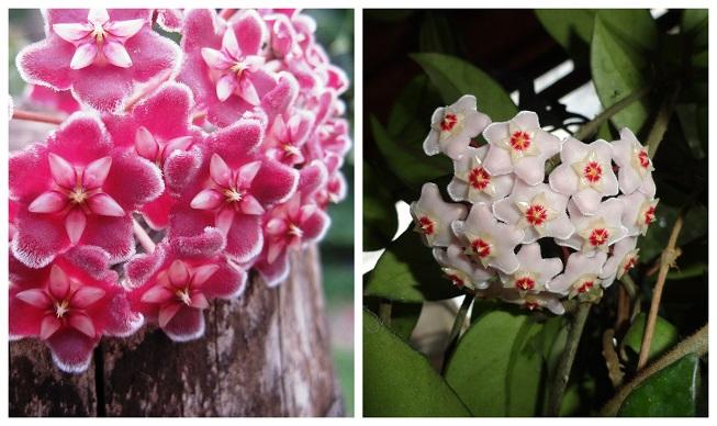 Como reproducir y cultivar la planta flor de cera