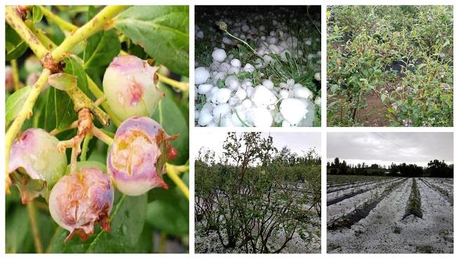 Manejo para enfrentar los efectos del granizo en huertos de arándano