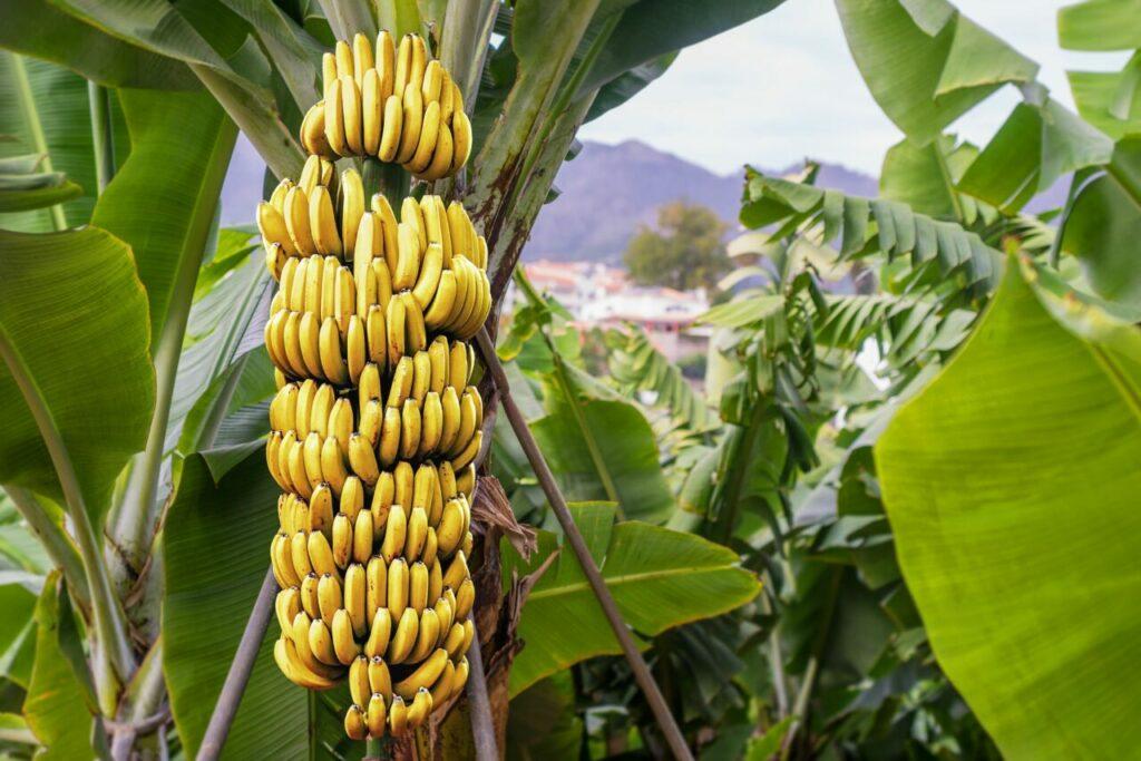 Perú entrega kits básicos de bioseguridad a sus productores para controlar plaga en el banano