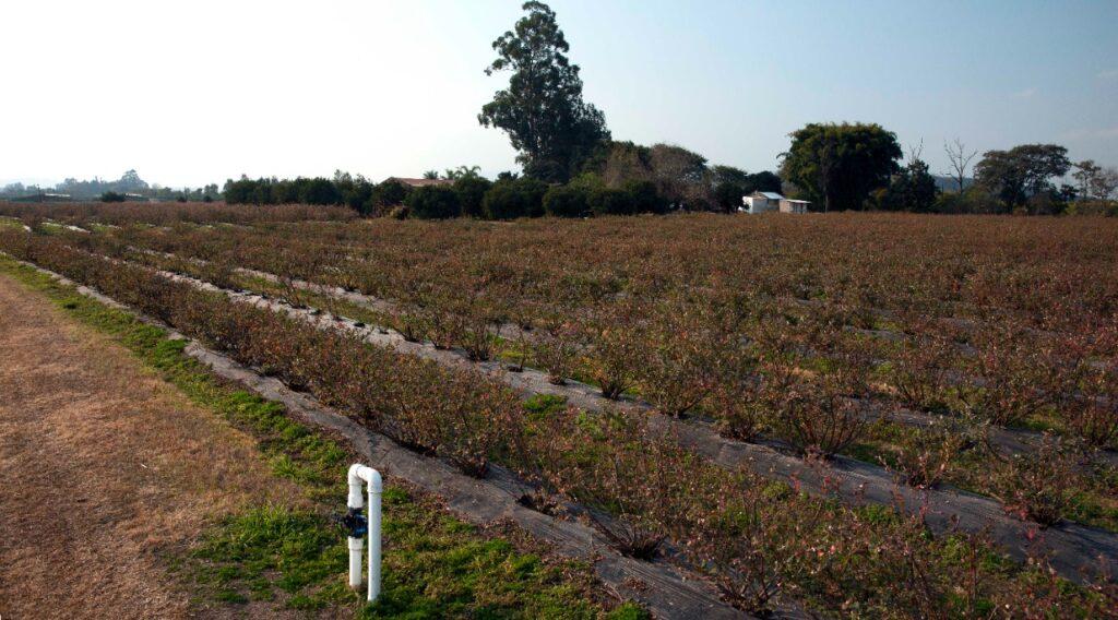 Argentina: La zona arandanera de Concordia vuelve a ser área libre de polilla de la vid