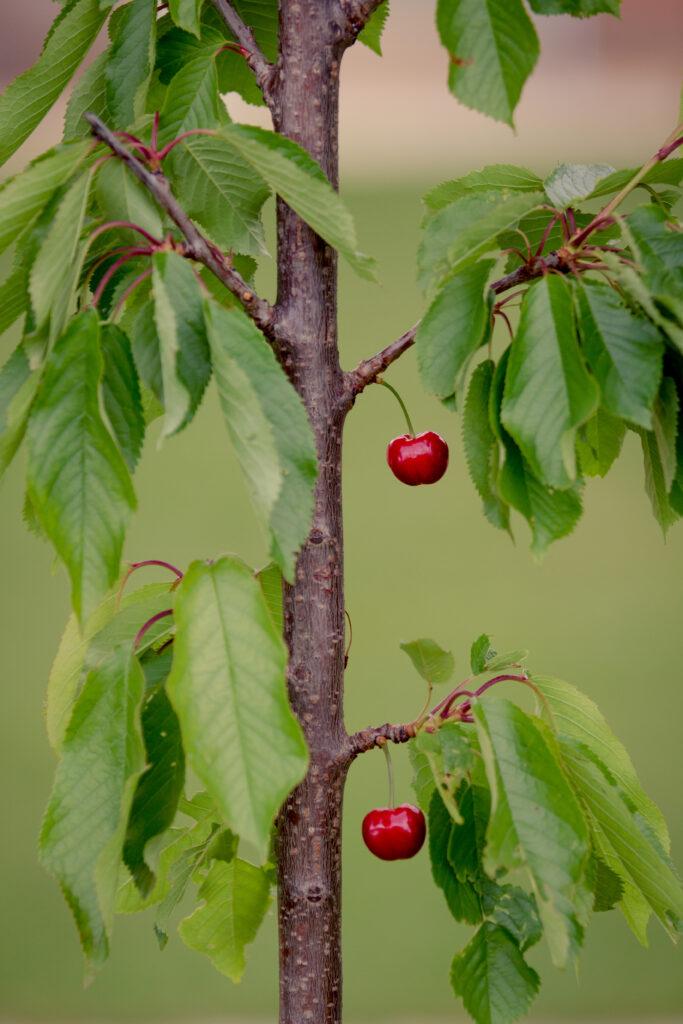 Cultivar cerezos en maceta