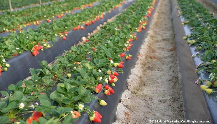 EMCO CAL presenta las nuevas variedades de frutillas de la Universidad de Florida para Latinoamérica