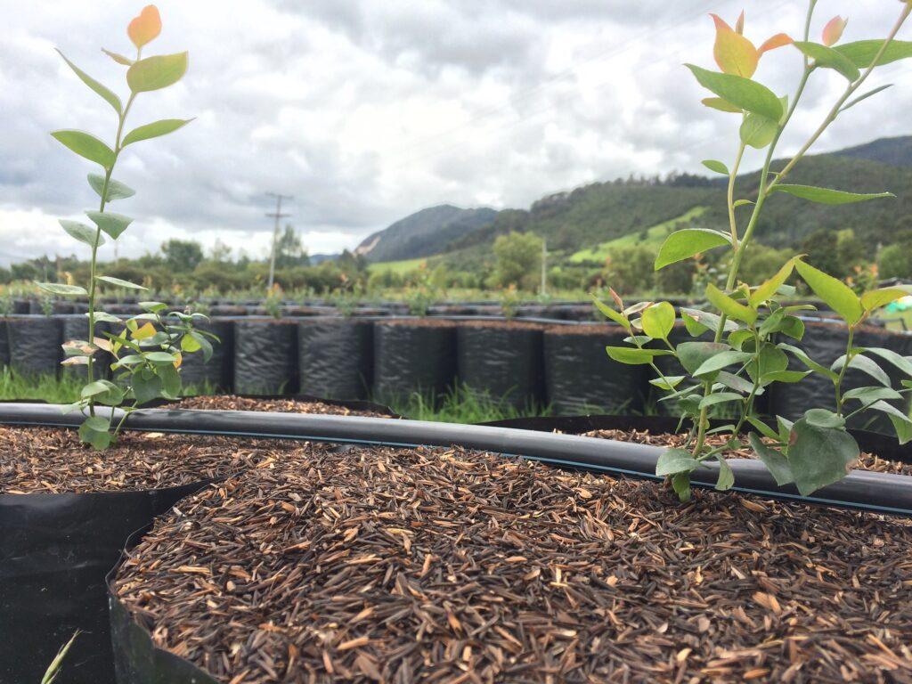 cómo plantar arándanos