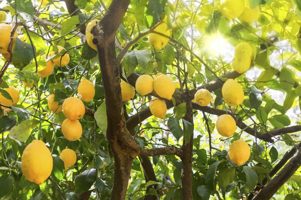 Estudio determina mejor sistema de riego para limoneros
