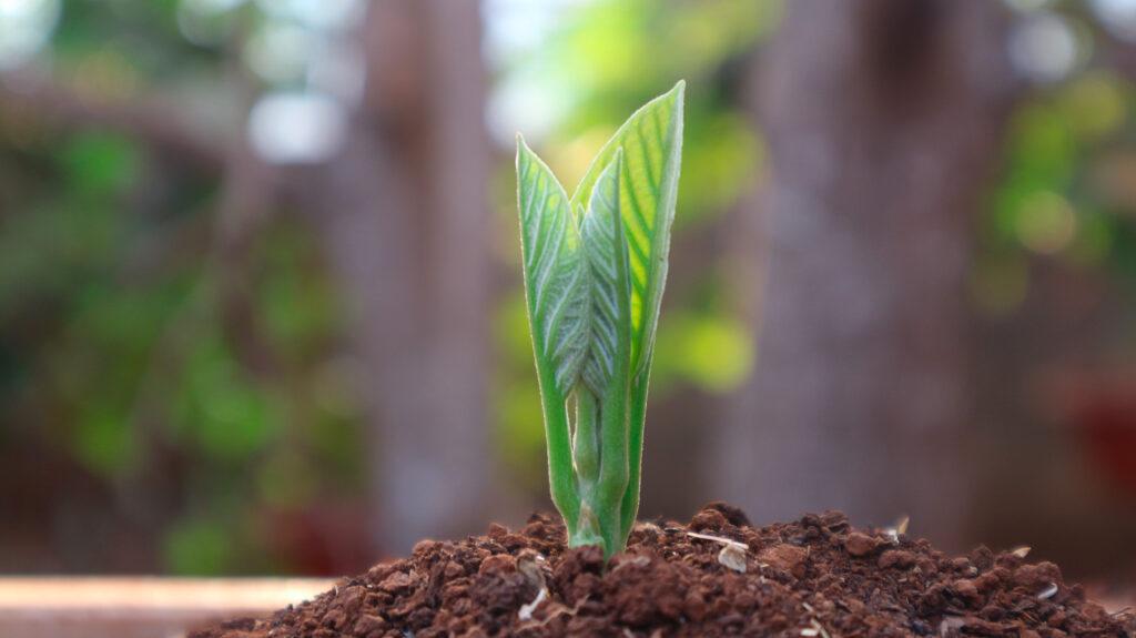 cultivo del aguacate en maceta