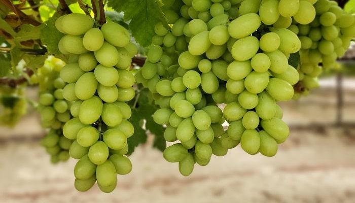 Investigadores utilizan inteligencia artificial para desarrollar uvas más resistentes a hongos