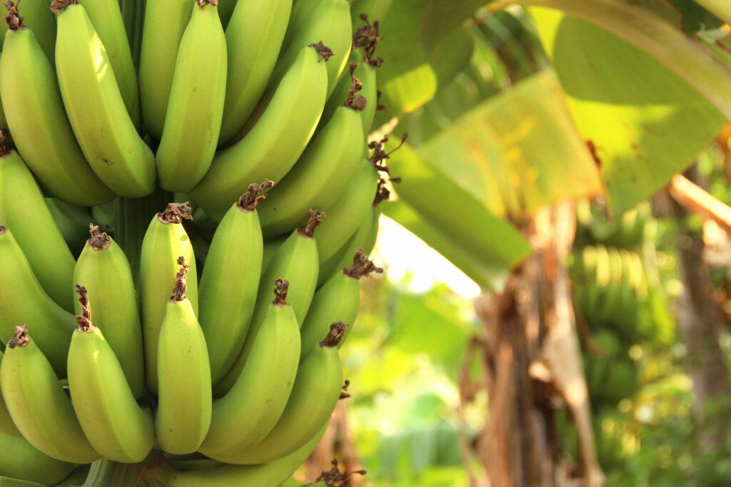Heladas en Argentina provocan daños en cultivos de bananas