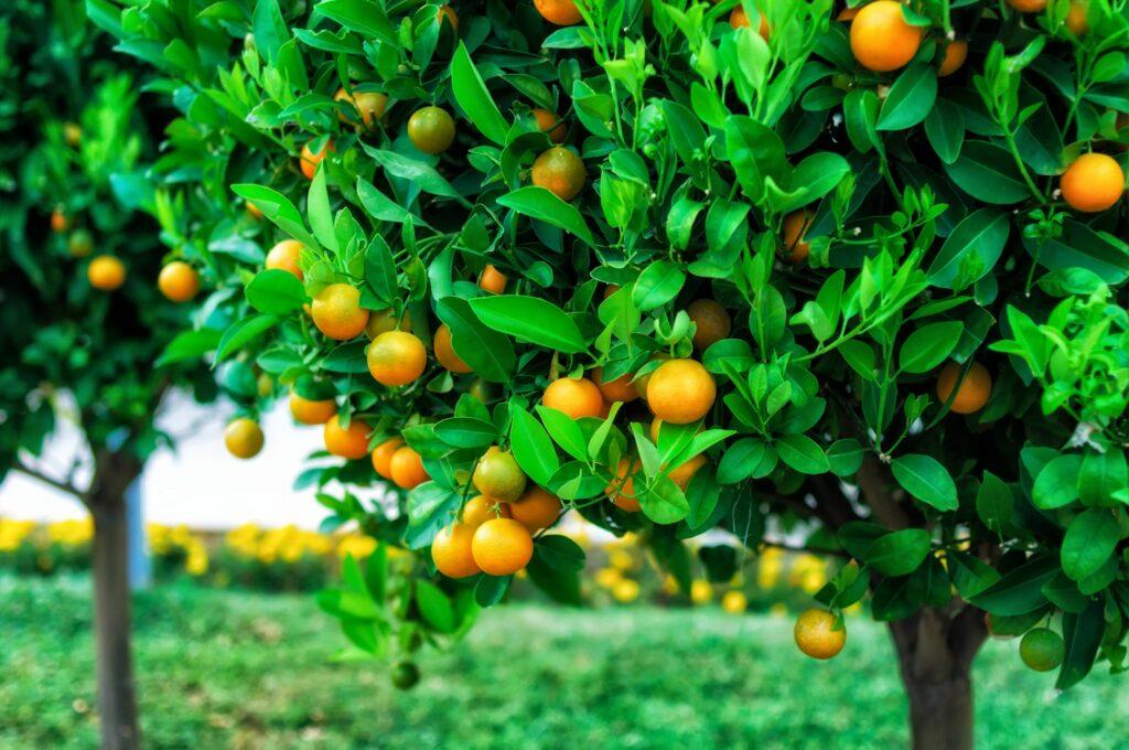 Aumenta la producción de naranjas en Argentina gracias a innovación