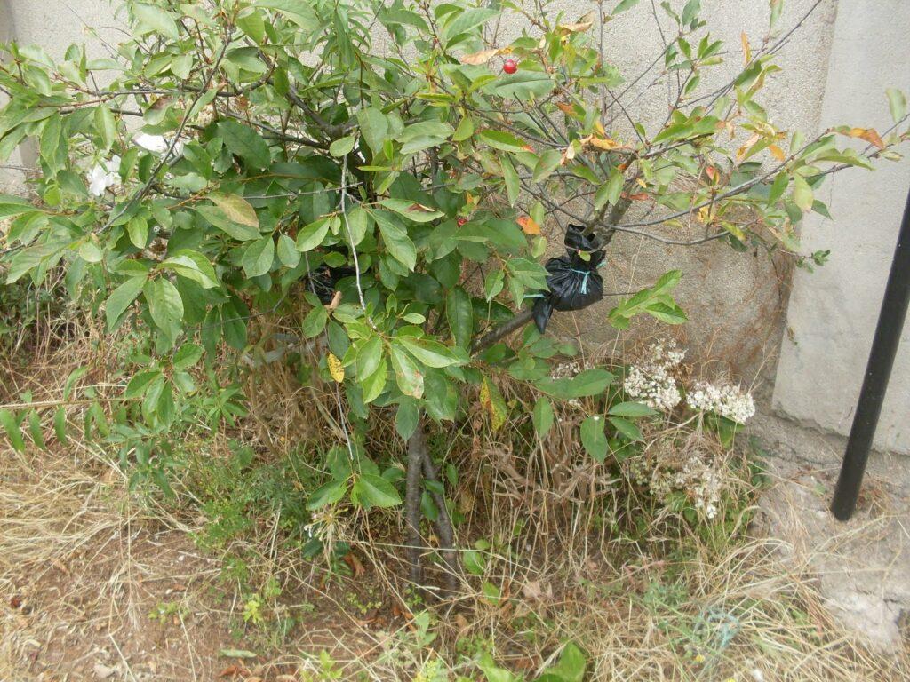 cómo reproducir una rama de cerezo por acodo
