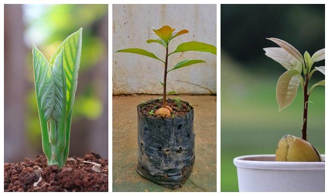 7 consejos para el cultivo del aguacate en maceta y que dé fruto