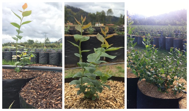Cómo plantar arándanos en un huerto en casa y en macetas