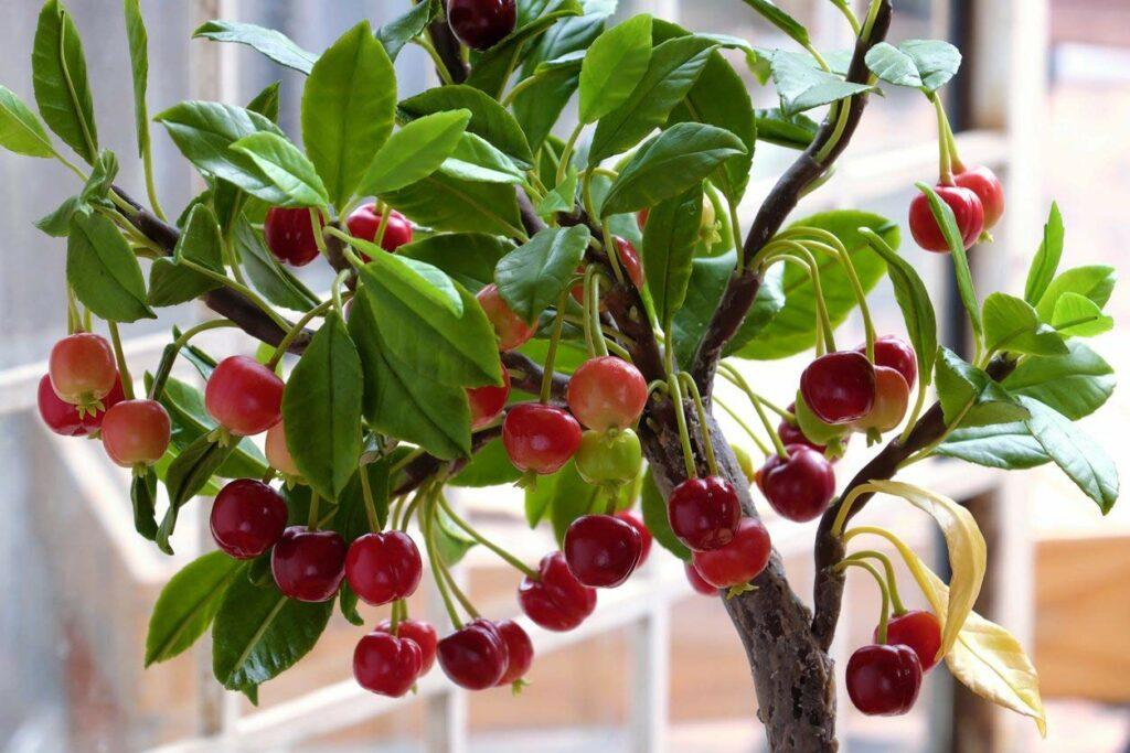 Cultivar cerezos en maceta. Plantación y cuidados