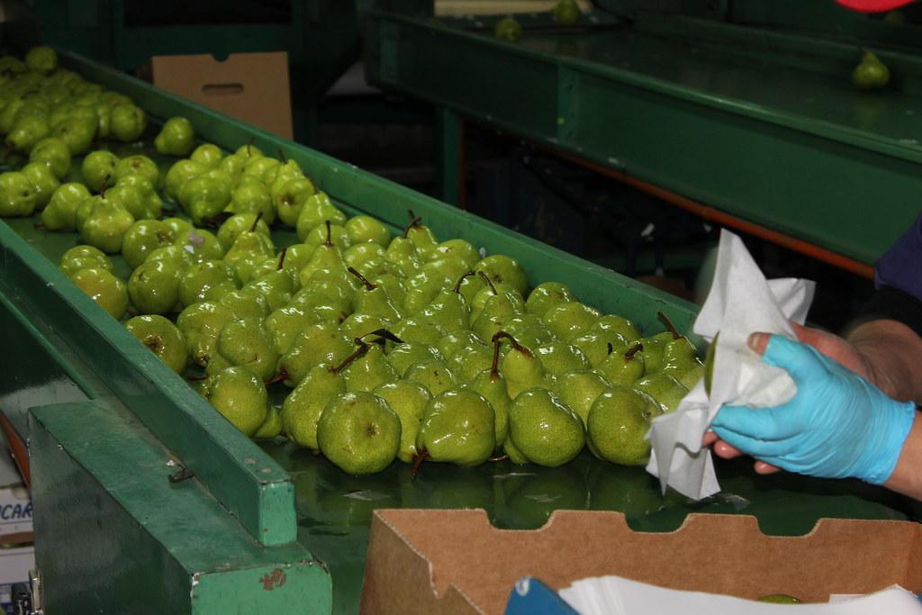 Chile: Mayoría de los productores de fruta están con un déficit de un 50-70 % de trabajadores para las labores agrícolas