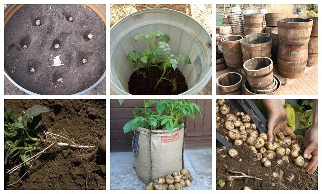 Cómo cultivar 45 kg de patatas (papas) en barriles y sacos