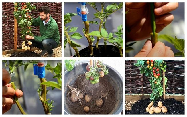Cómo hacer injertos para que una sola planta produzca papas y tomates