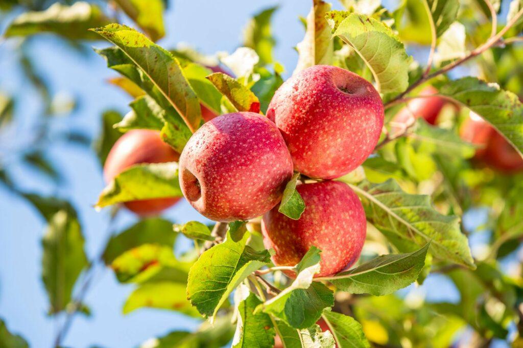 España: Ventas de manzanas Pink Lady aumentan un 35% en volumen en campaña 2020-2021