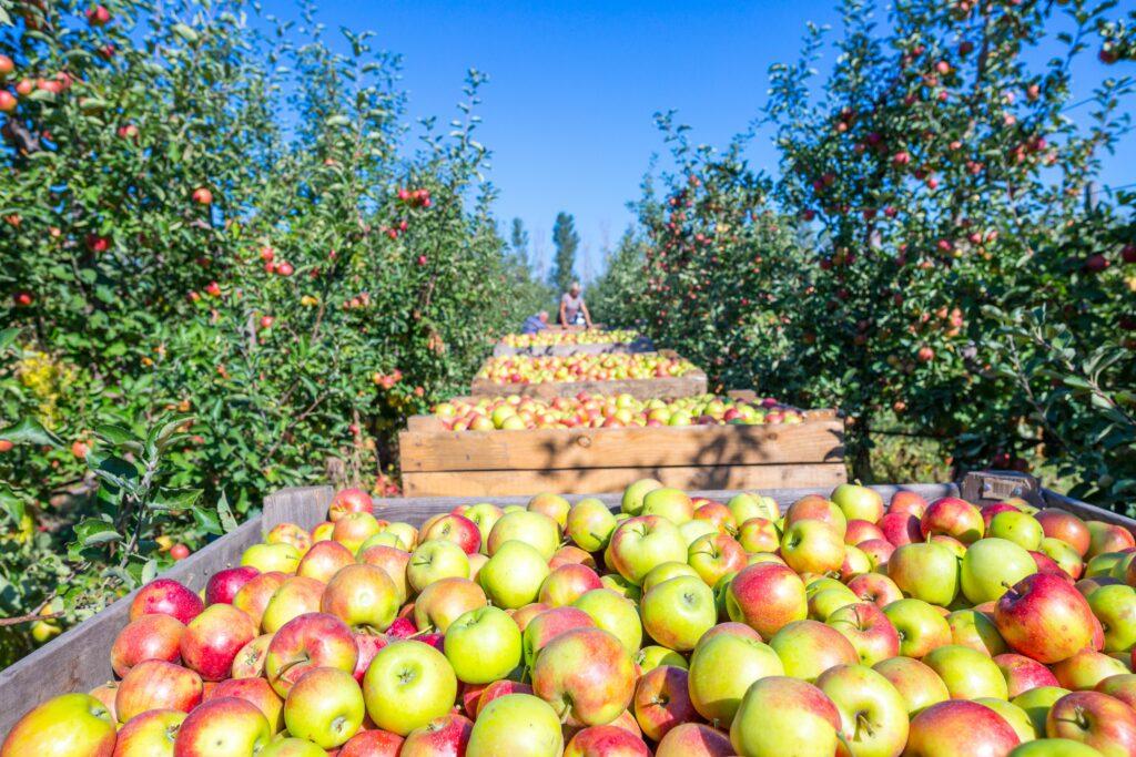 Agronometrics en Gráficos: Precios superiores al 2020 han marcado la tendencia de las manzanas este 2021