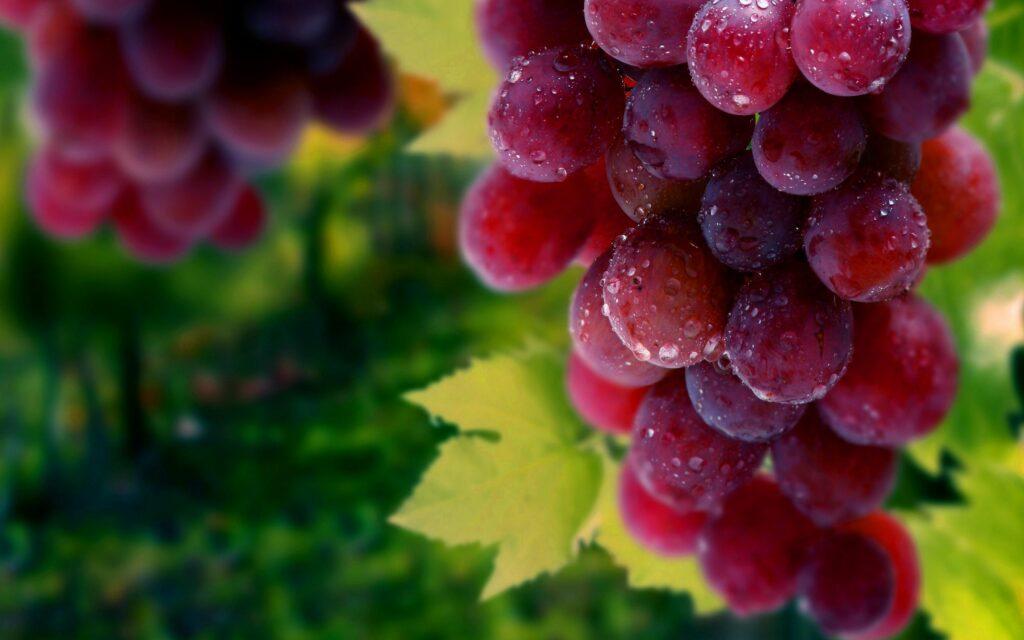 UVANOVA: Escasez de mano de obra afectó temporada 2021 de uva de mesa en Chile