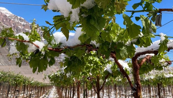 Chile: Heladas se registran en Copiapó, zona de cosecha de uva de mesa