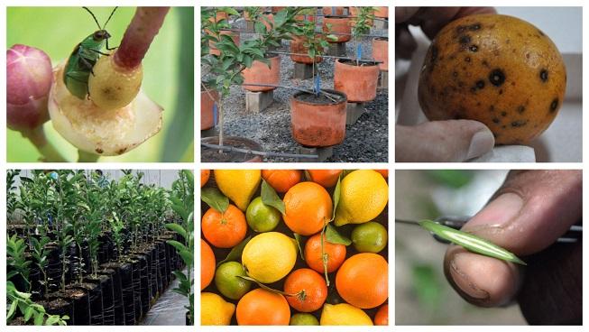 Varios manuales, guías y tips interesantes sobre el cultivo de cítricos