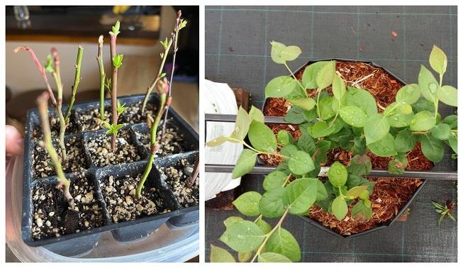 Como crear esquejes de arándanos en las plantas