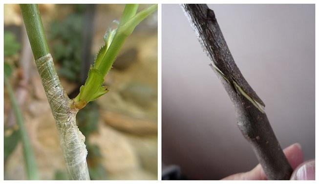 Cómo injertar un cerezo de forma fácil y efectiva