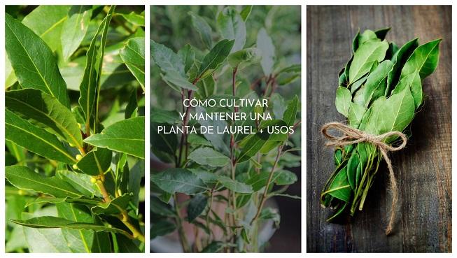 Cómo cultivar y mantener una planta de laurel, más usos