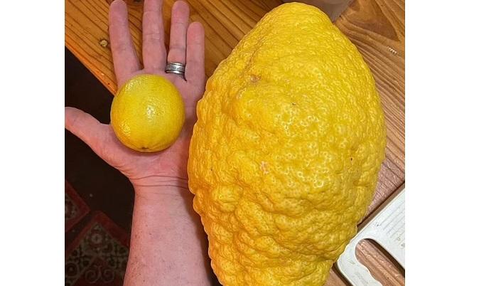 Cultivan limón gigante en Australia