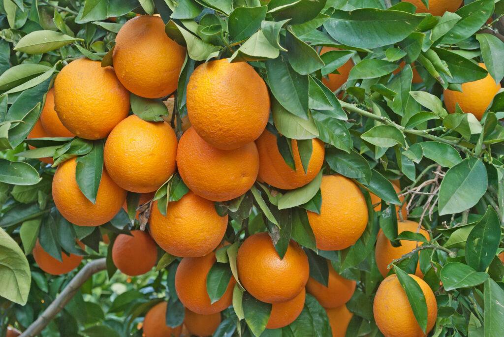 poda de un naranjo