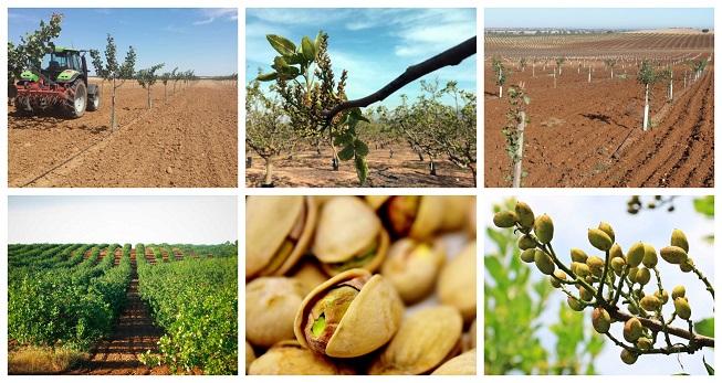 Manual básico para la producción de pistachos