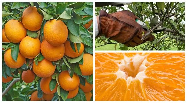 Poda de un naranjo para que dé frutas más grandes y jugosas