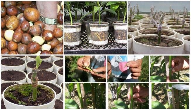 Guía técnica para la propagación del aguacate: semillas, injertos y más