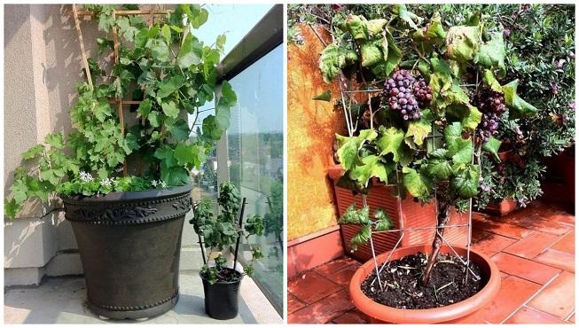 Paso a paso para cultivar uva de mesa en macetas