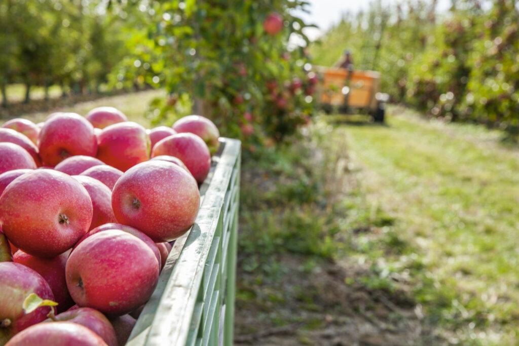 Pink Lady proyecta crecimiento entre 6% y 8% anual en volumen de manzanas hasta 2025