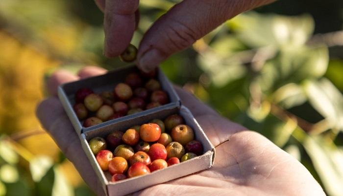 Agricultor cultiva manzanas del tamaño de una perla