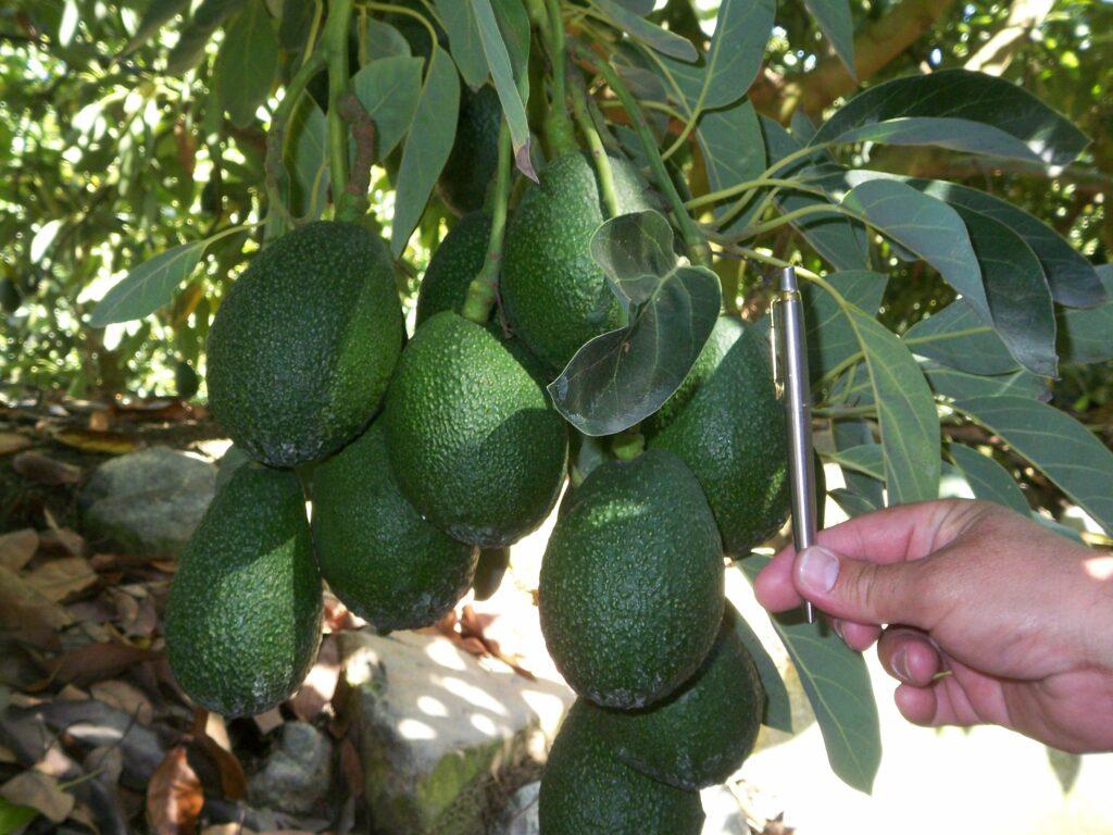 Expandiendo el suministrito global de fruta Hass-like