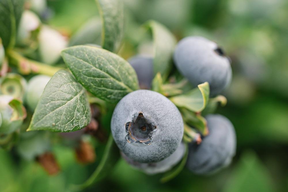 BerryWorld: Exportaciones de arándanos sudafricanos aumentarán en temporada 2021-2022