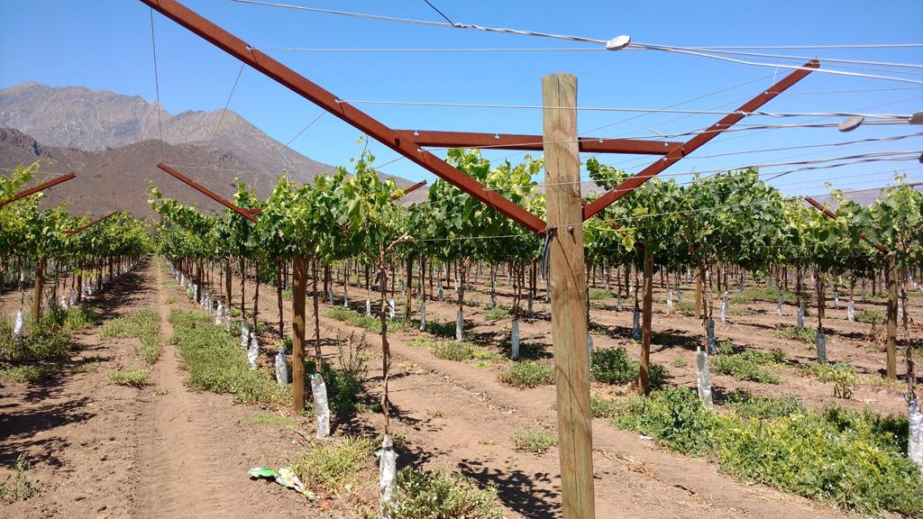 Open Gable, sistema de conducción alternativo al parrón español en uva de mesa