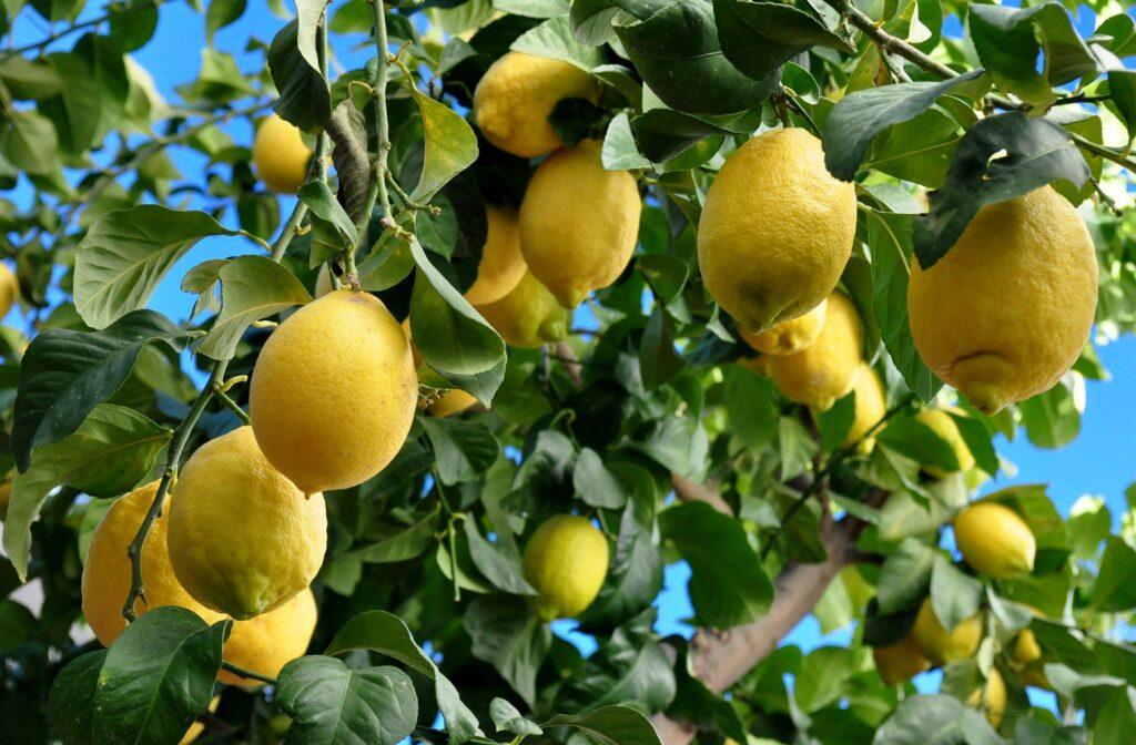 Limoneira obtiene alza en ingresos en tercer trimestre de 2021 impulsado por el aumento de precios de los limones