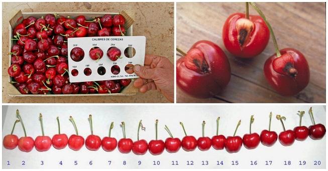 Cosecha de cerezas: Guía de prácticas y manejos importantes