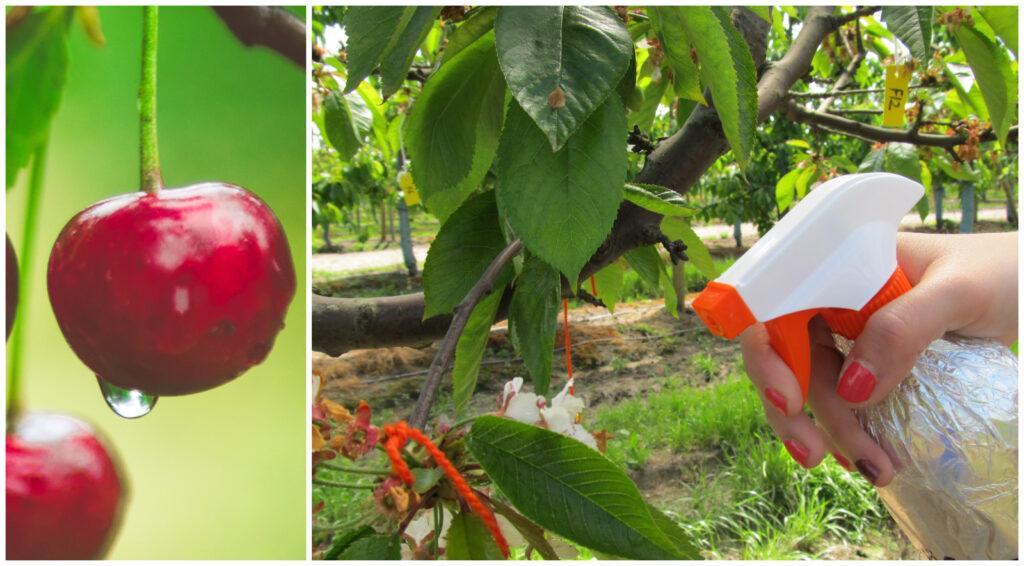 Reducción de partidura en cerezas gracias al uso de hormonas
