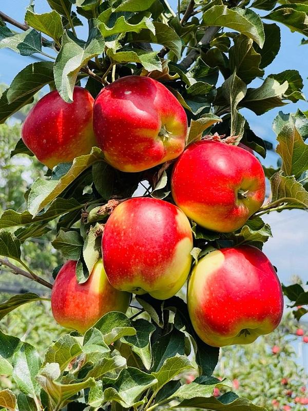 Manzanas 3 Hermanas