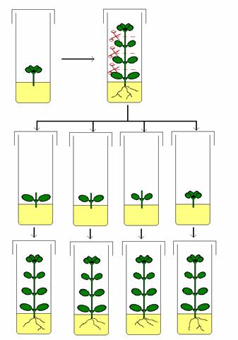 plantas de frambuesas in vitro