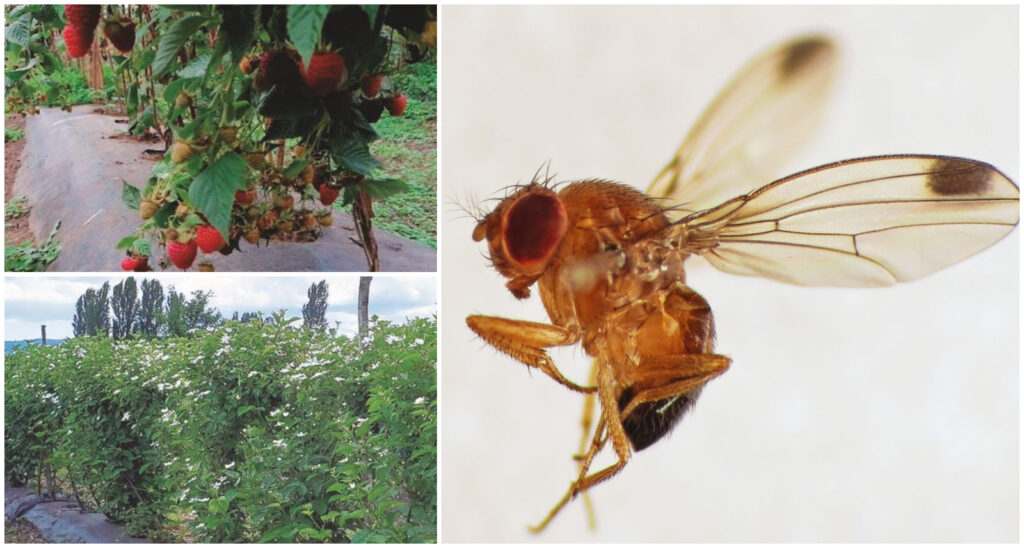 Manejo agroecológico de la mosca de alas manchadas Drosophila suzukii