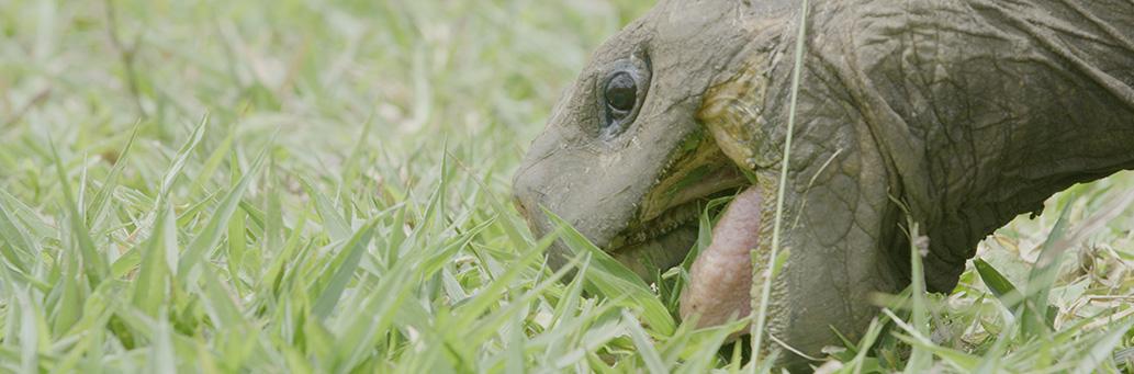 Galapagos To San Francisco A Giant Tortoise Journey