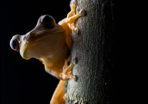 Amazon Rainforest Frog | Ecuador