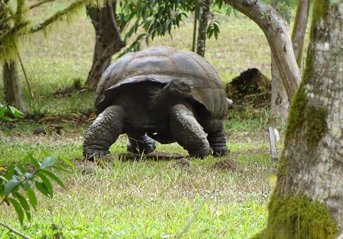 Galapagos giant tortoise Isabela Island