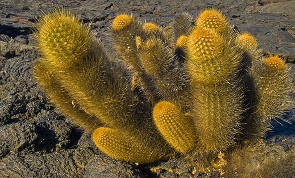Galapagos Cacti | Galapagos islands | South America Travel