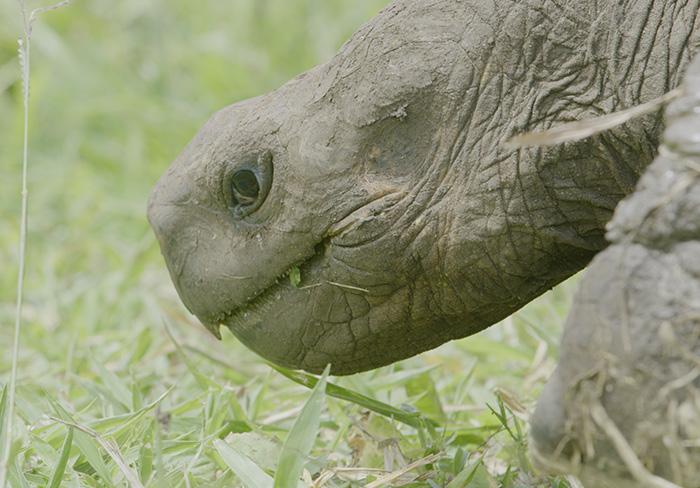 Galapagos giant tortoise Santa Cruz Island