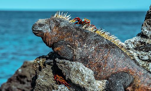 Marine Iguanas | Galapagos islands | South America Travel